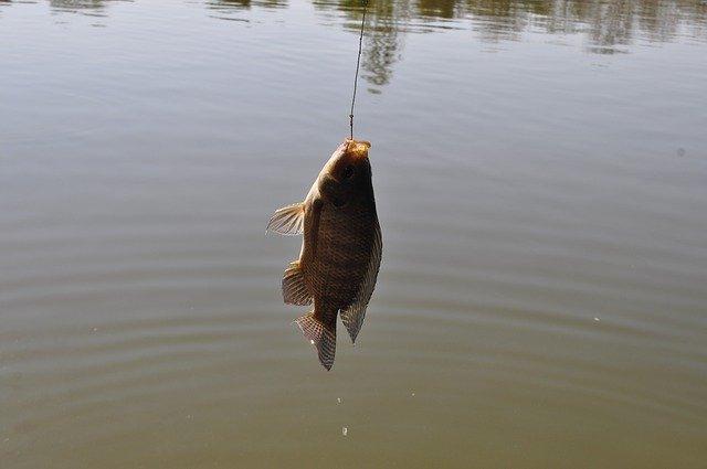 chycená ryba