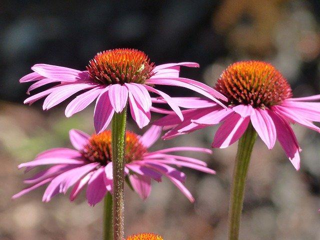zdravá echinacea